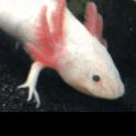 Ethan_the_axolotl